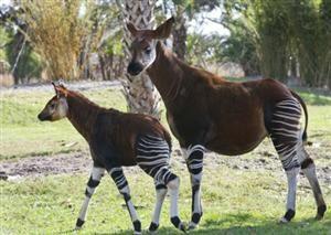 Okapi Calf Hits the Savannah at Kidani Village