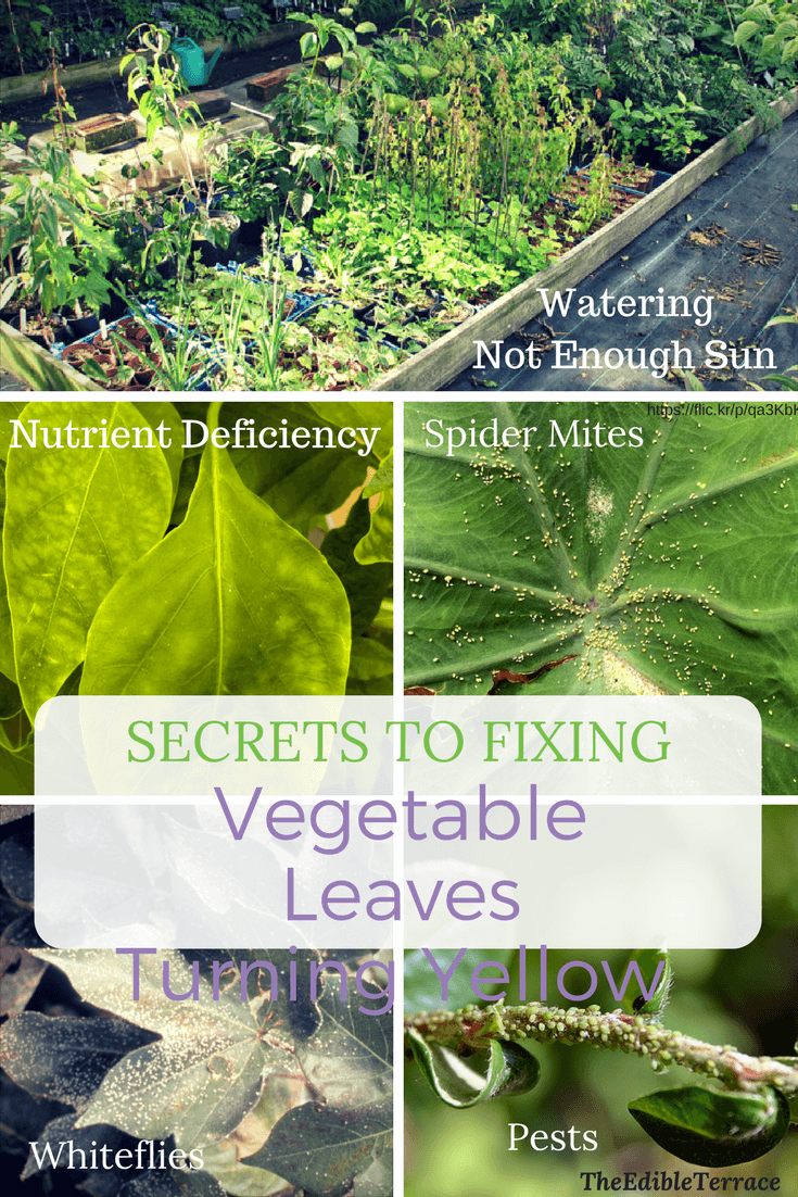Secrets To Fixing Vegetable Leaves Turning Yellow With Images