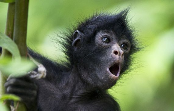Spider Monkey Not Only Are Rare Trees And Plant Life Facing