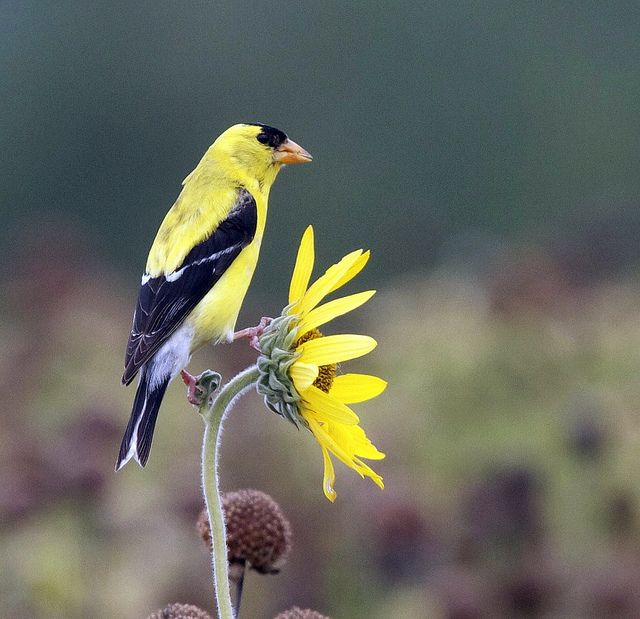 Goldfinch In Missouri Beautiful Birds Nature Birds Backyard Birds