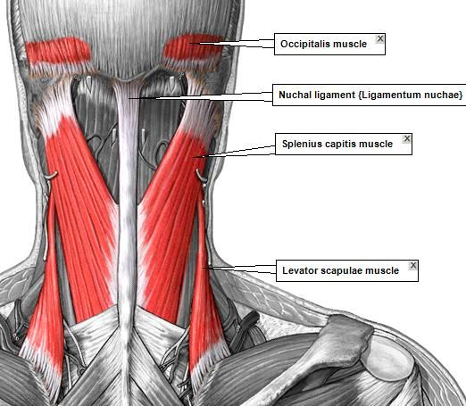 superficial muscles posterior view | the superficial sleeve, Human Body
