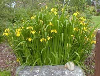 Paghats Garden Iris pseudacorus Landscaping Pinterest Iris