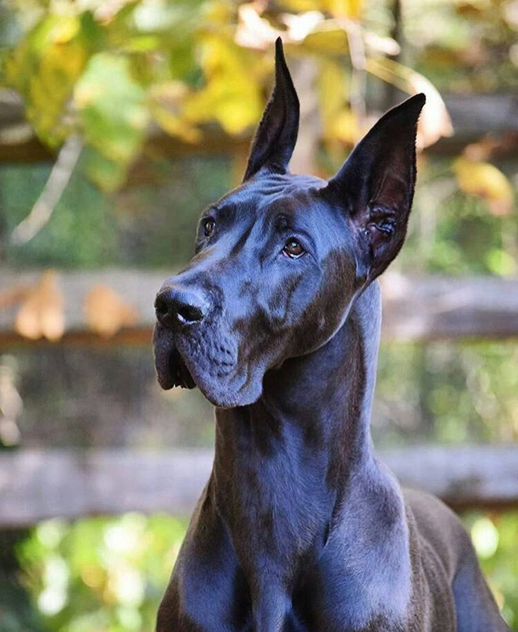 Pin By Taha Otefy On Dogs Are A Bliss Great Dane Dogs Dane Dog