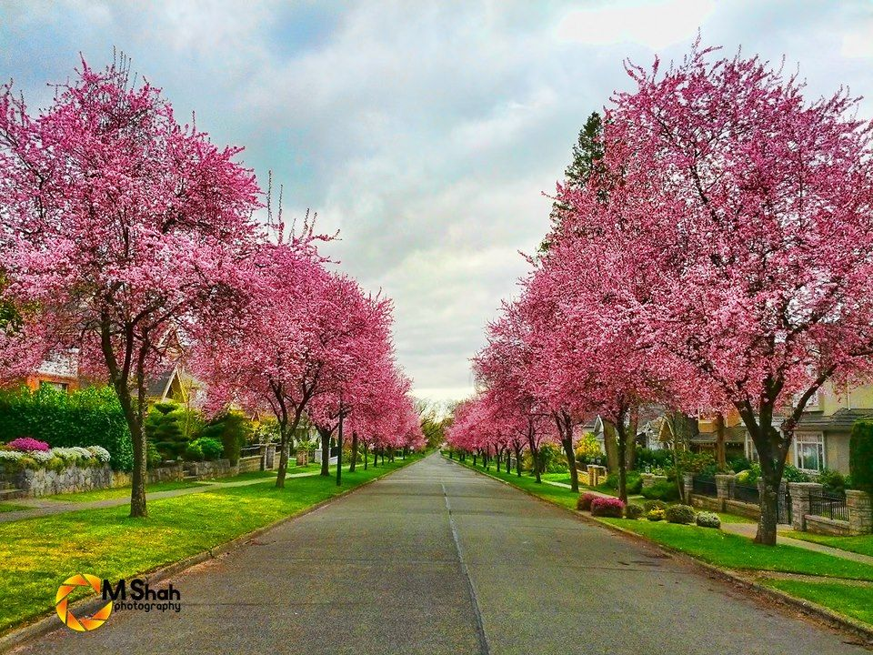 Cherry Blossoms In Vancouver My Street Is Like A Scene From A Fantasy Book Fantasy Books Scene Country Roads
