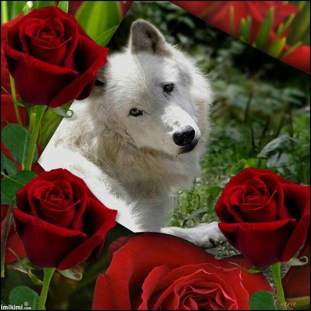 очаровательный фото волк с розой в зубах получили олега