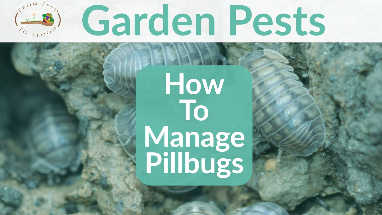 Pillbugs Often Called Roly Polies Can Be Commonly Found In Your