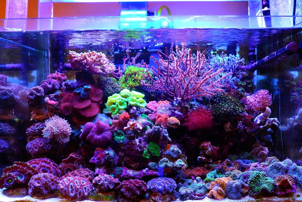 May 2011 ntotm bandit angel 39 s 25g nano reef central for Reef aquarium fish