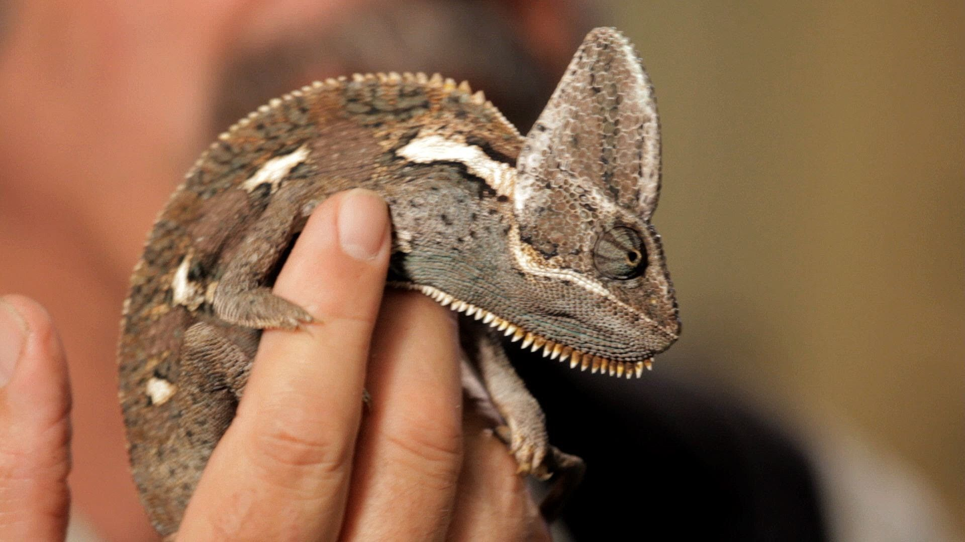 6 Care Tips For Chameleons Pet Reptiles Chameleon Pet Reptiles Pet Pets