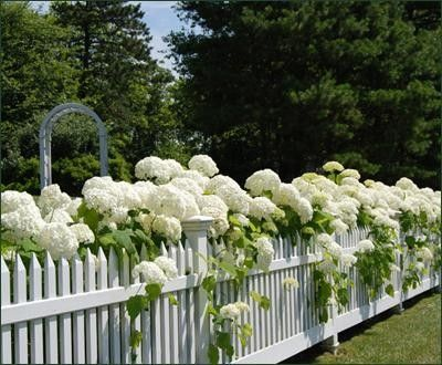 white picket fence draped with white hydrangeas