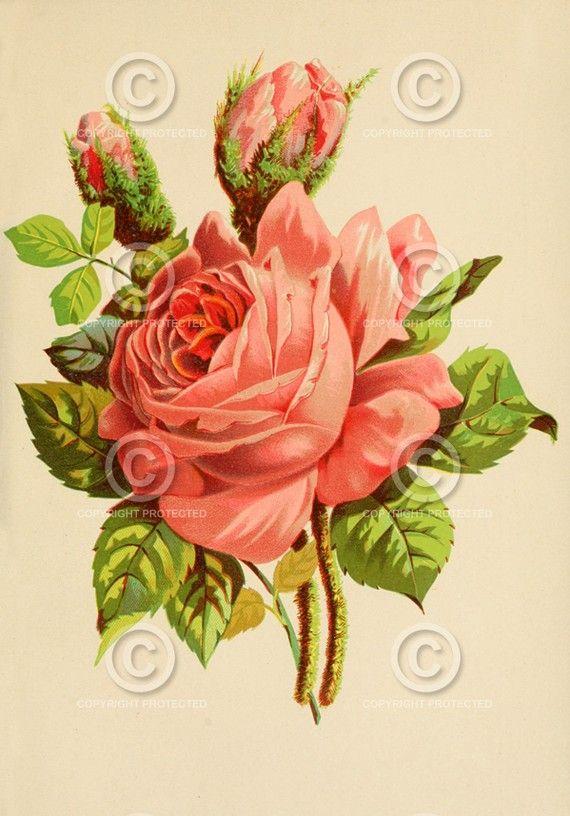 Vintage Antique Rose Illustration Rose Illustration Vintage Flowers Flowers