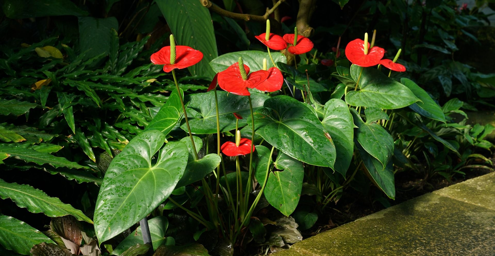 Characteristics Of A Quality Anthuriyam Plant Staying Healthy Green Quality Of A Anthurium Plant Having A White Anthurium Plant Anthurium Plants
