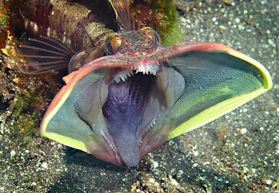 Sarcastic Fringehead (Neoclinus blanchardi) - an aggressive and bizarre fish that defends its territory by battling rivals with their terrifyingly large open mouths.
