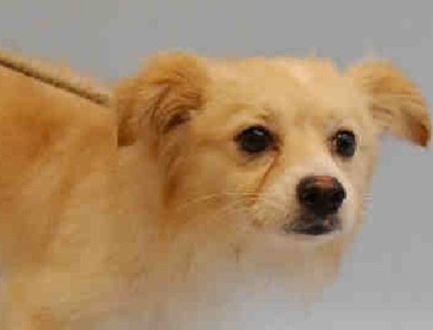 SAFE 6-30-2015 --- Manhattan Center PAPAS – A1040736  ***SAFER : NEW HOPE RESCUE ONLY***  MALE, CREAM, POMERANIAN / CHIHUAHUA LH, 1 yr OWNER SUR – EVALUATE, NO HOLD Reason PET HEALTH Intake condition EXAM REQ Intake Date 06/19/2015