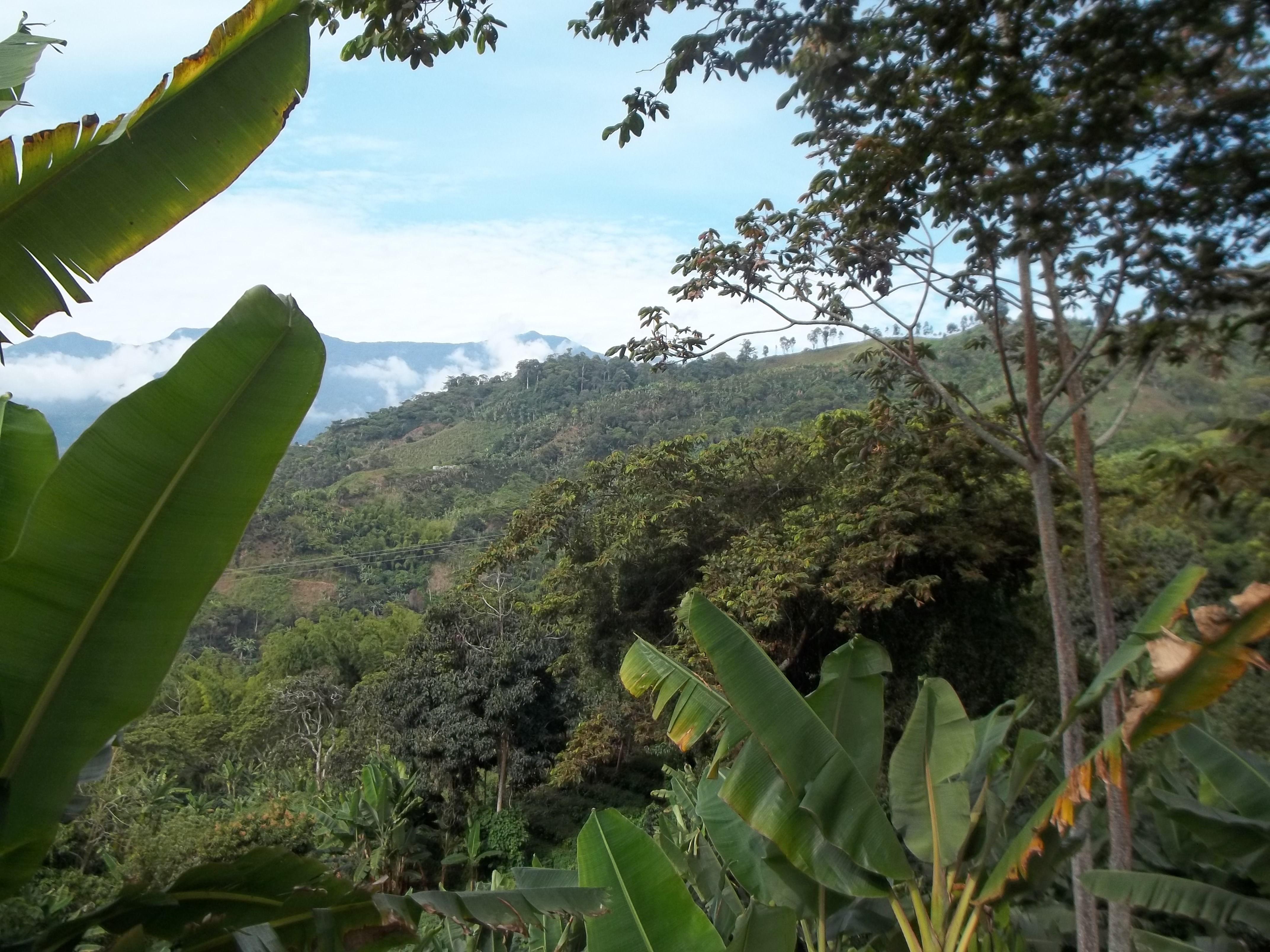 Verde que se muestra en las hojas de la mata de plátanos, café y árboles nativos de la vereda de Alto Cáceres.