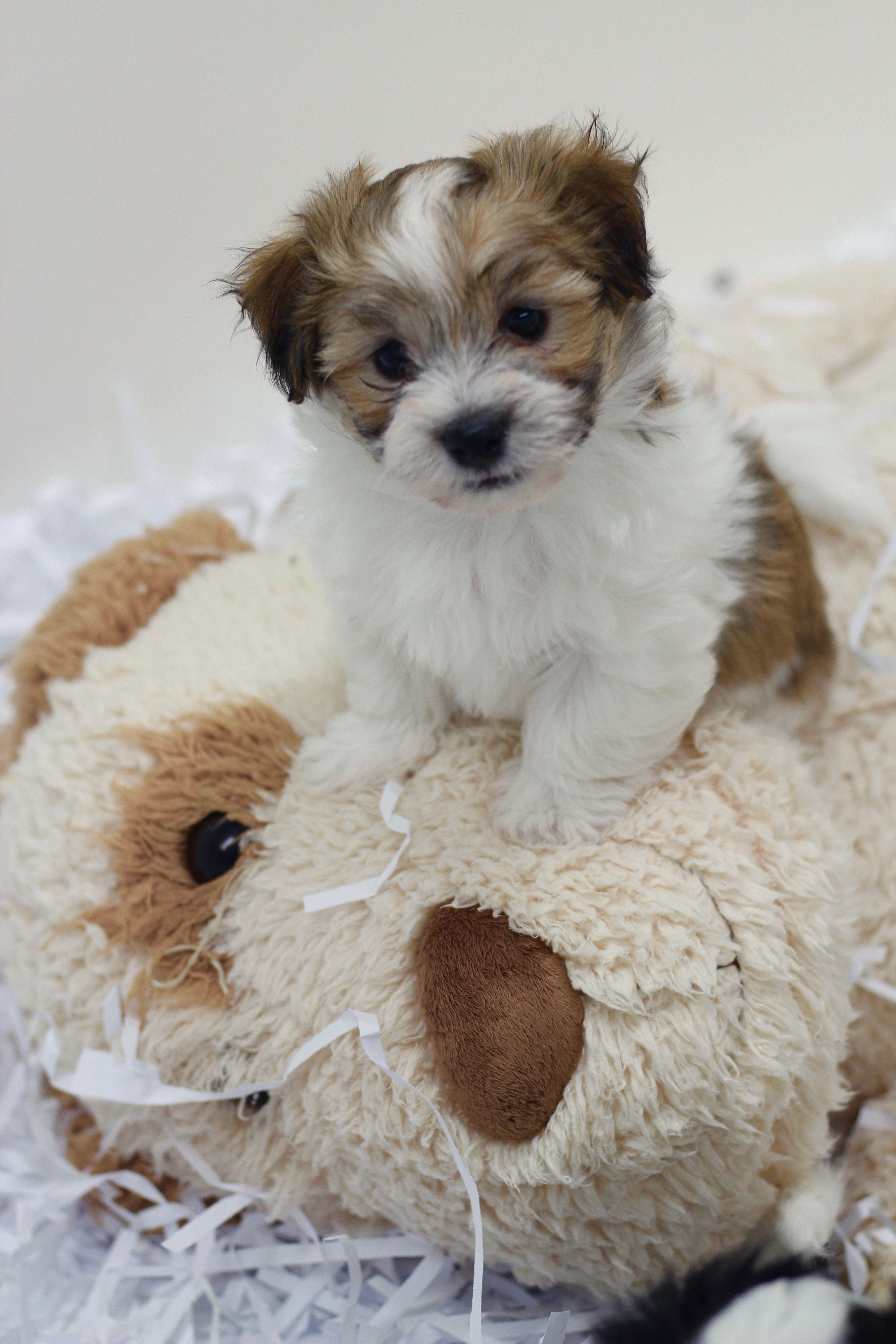Bichon Shih Tzu Puppy Shichon Zuchon Www Babybarks Ca Shih Tzu