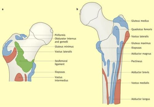 Anterior and posterior views of the proximal femur, reflecting on ...