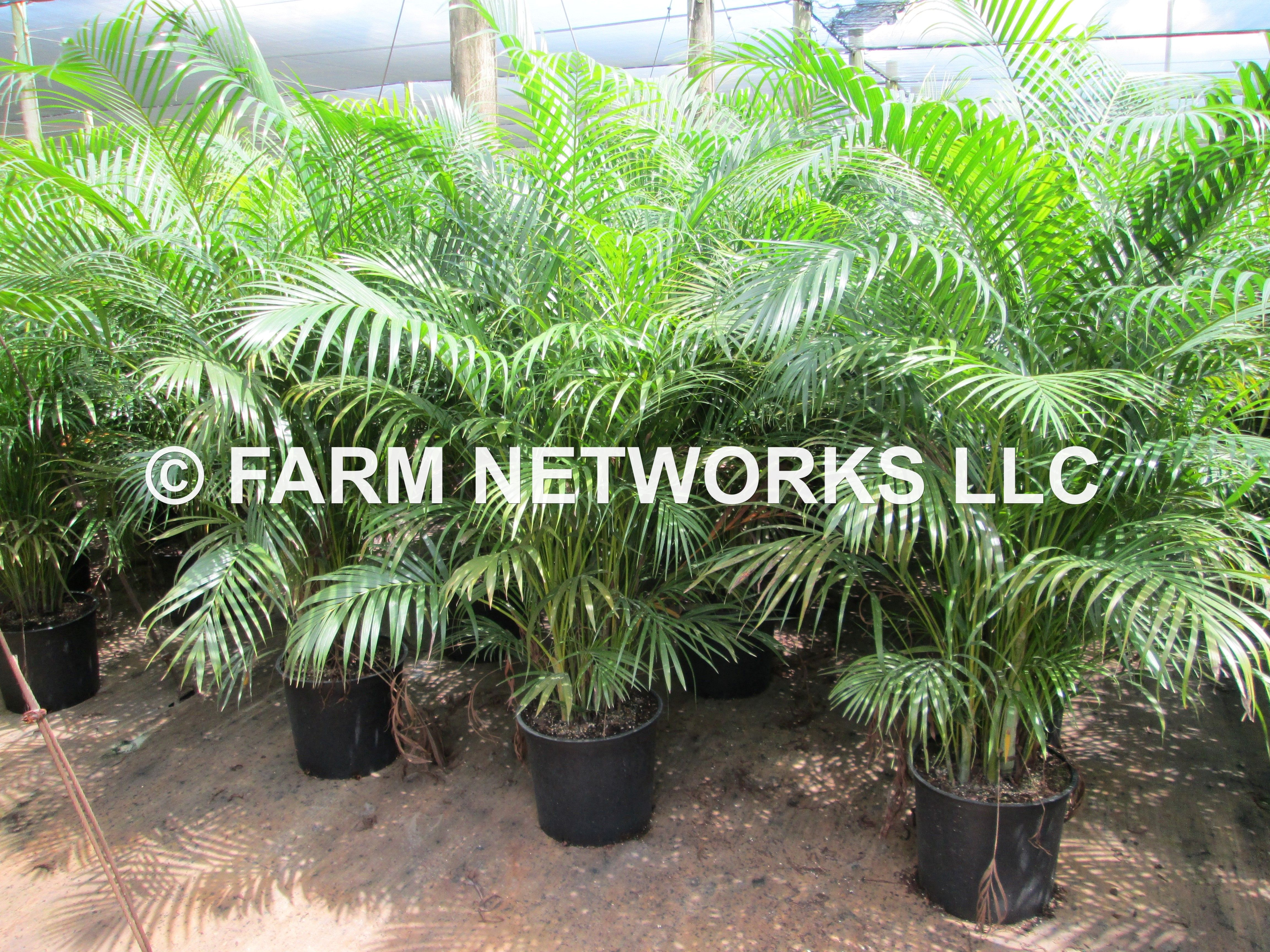 15 gallon areca palm areca palm trees south florida for Pictures of areca palm plants
