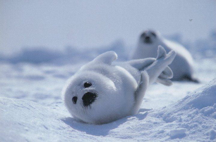 Baby Harp Seal Pup & Mom. | Sea worthy ness | Pinterest ...