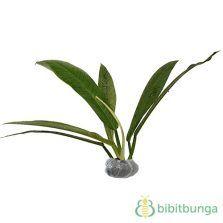 Tanaman Philodendron Lynette Tanaman Bunga Pohon Bonsai