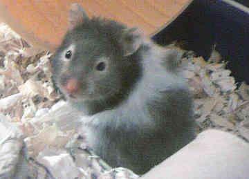 teddy bear hamster   Hamsters   Pinterest   Hamsters ...