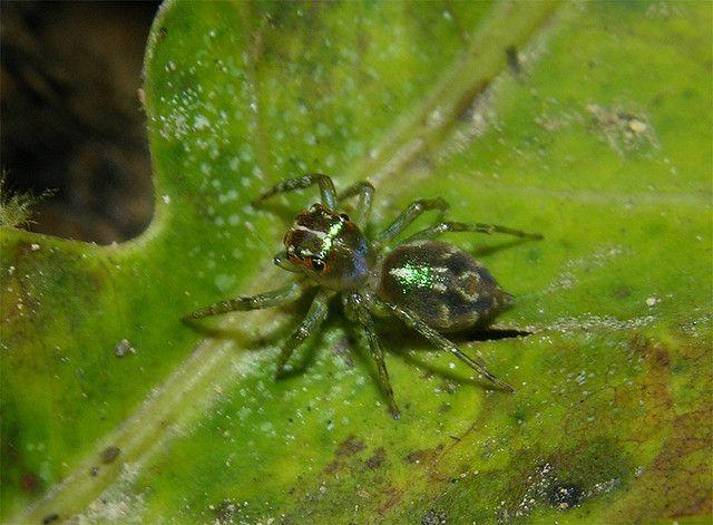 Jumping spider, cf Cobanus sp female, dorsal, Panama | Flickr - Photo Sharing!