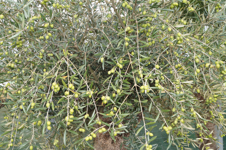 Der Reich Verzweigte Immergrune Olivenbaum Erreicht Je Nach Sorte Eine Wuchshohe Von Bis Zu 20 Me Mediterrane Pflanzen Mediterrane Gartengestaltung Olivenbaum