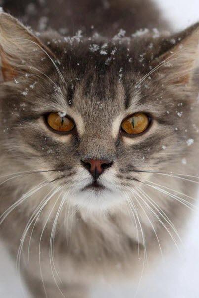 Snow Cats Kittens Cutest Beautiful Cats Pretty Cats