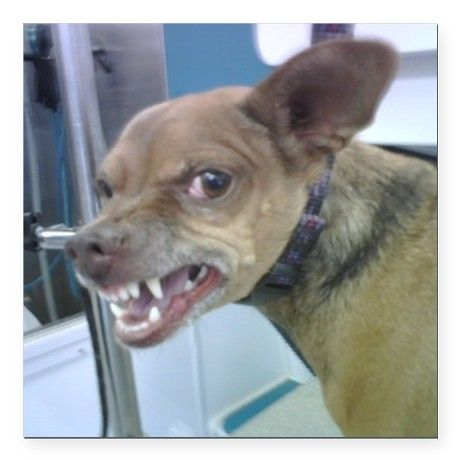 Image result for angry chihuahua