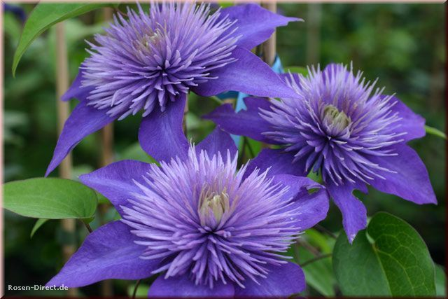 clematis multi blue google search blue clematis. Black Bedroom Furniture Sets. Home Design Ideas