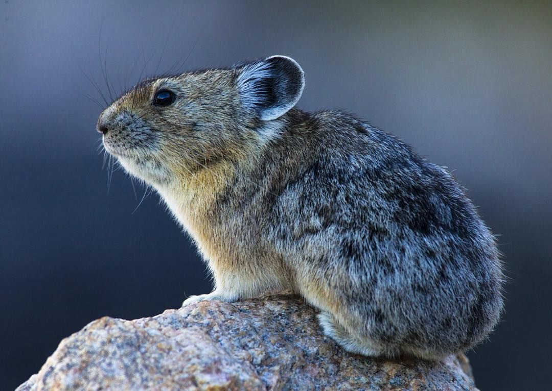 """""""photo by // drewtrush // Did you know that Pika don't"""