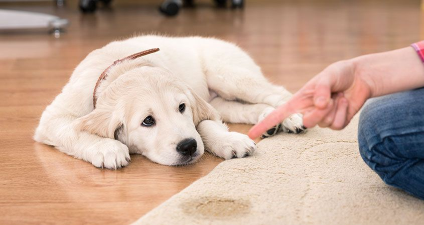 What Is Territorial Marking And How To Stop It Doggie Stuff