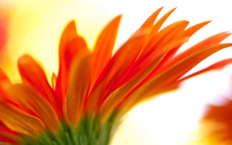 Free HD Wallpapers for your computer Orange flower  HD Flowers