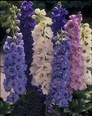 Delphinium New Century Dreaming Spires Flowers Perennials Delphinium Delphinium Flowers