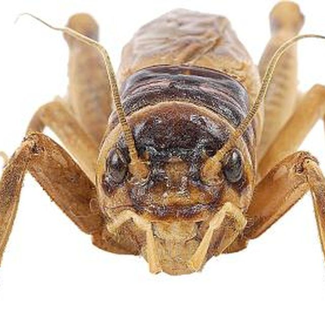 Getting Rid Of Crickets, Pest