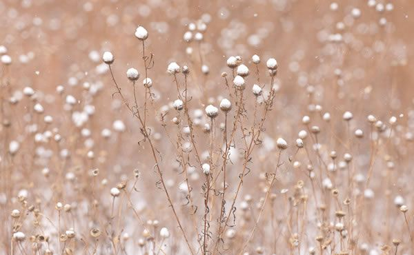 snowy winter flower stems.jpg (600×370)