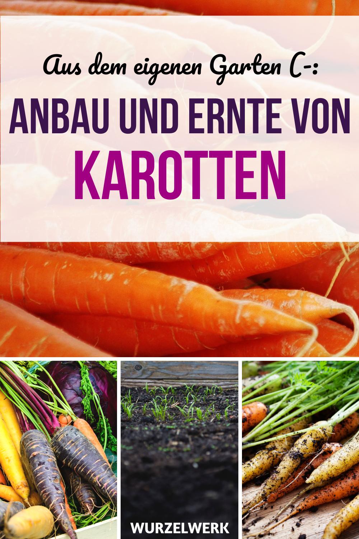 Der Komplette Karotten Guide Pflanzen Anbauen Und Ernten Wurzelwerk In 2020 Karotten Pflanzen Pflanzen Karotten