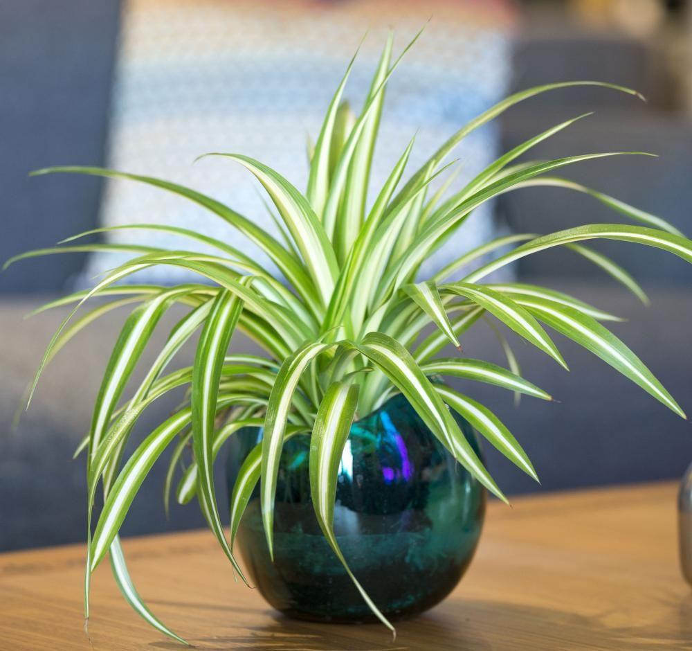Grunlilie Robust Und Pflegeleicht Pflanzen Zimmerpflanzen Topfblumen
