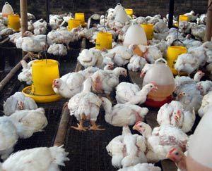 Beternak Ayam Petelur Rumahan
