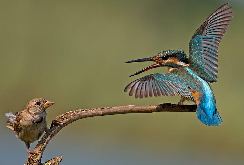 Common Kingfisher Vs House Sparrow Incredible Snaps Wildlife Photography Birds Amazing Animal Stories Beautiful Birds