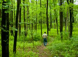A man hikes through a forest of green ferns and trees.