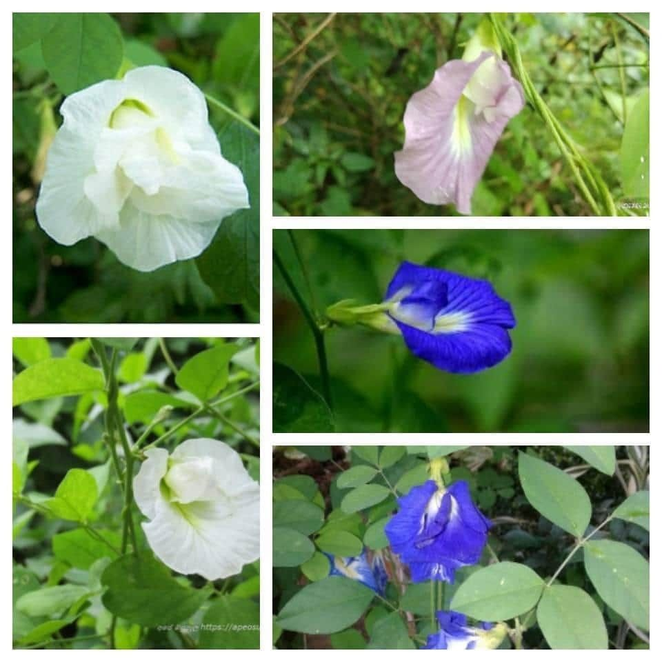 30 Blue Butterfly Bunch Pea Organic Seeds Makes A Color Changing Herbal Tea Drink Tea Flower Seeds Clitoria Ternatea Plant In 2020 Flower Seeds Flower Tea Butterfly Plants