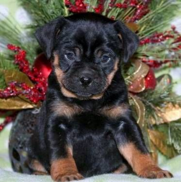 Mini Rotts 13th Generation Exclusive Breeder Rottweiler Puppies