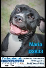 Adopt Maria A Lovely 2 Years 9 Months Dog Available For Adoption At Petango Com Maria Is A Beagle Bulldog And Is Available At Dog Adoption Beagle Adoption