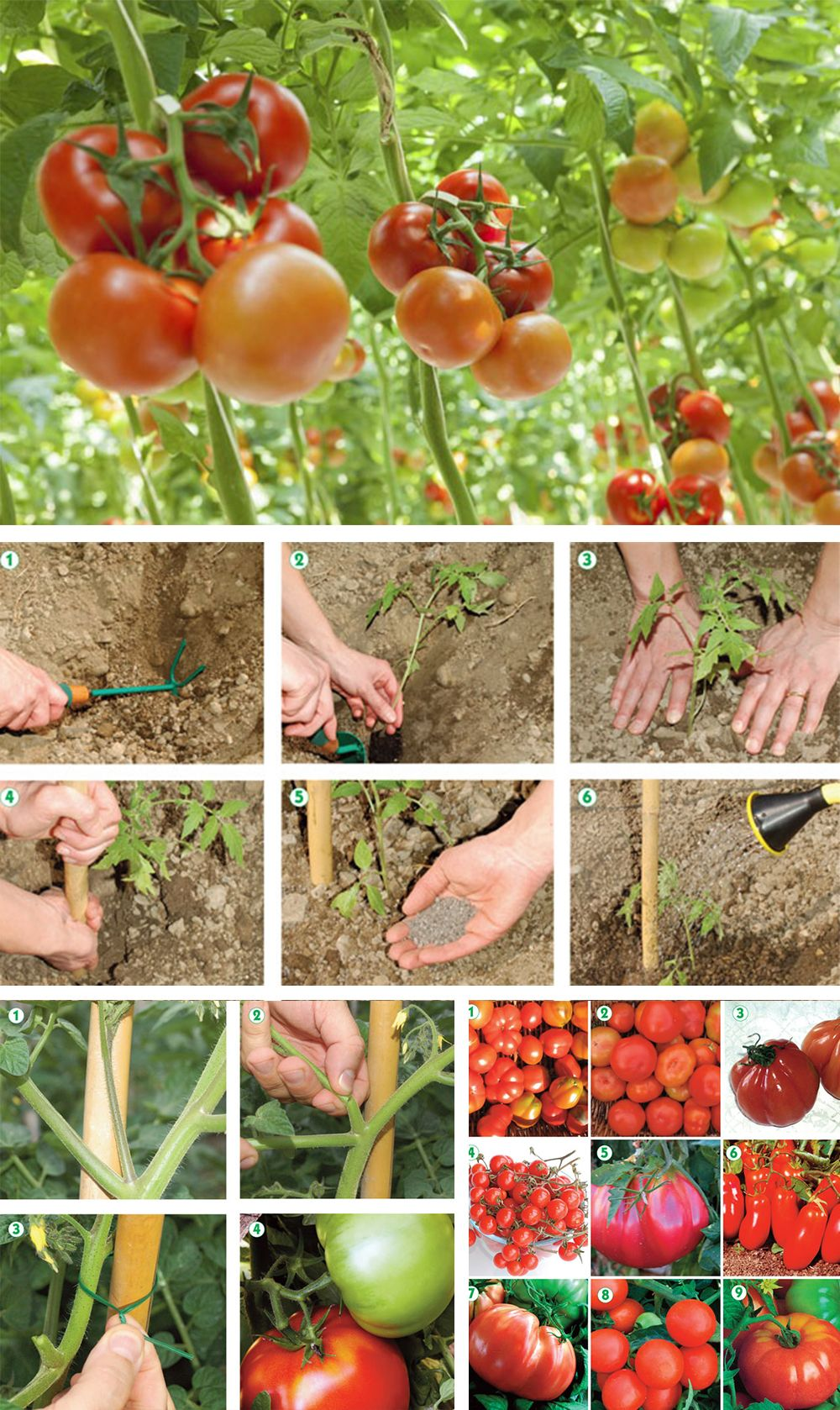 Come Coltivare Pomodori Sul Balcone coltivare pomodori | coltivare pomodori, coltivare verdure