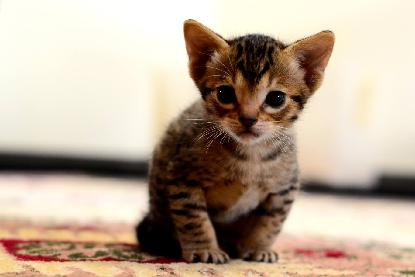 The Ocicat Cat Is An All Domestic Breed Of Cat Which Resembles A Wild Cat But Has No Wild Dna In Its Gene Pool The Breed Is Unusua Ocicat Wild Cats Cat