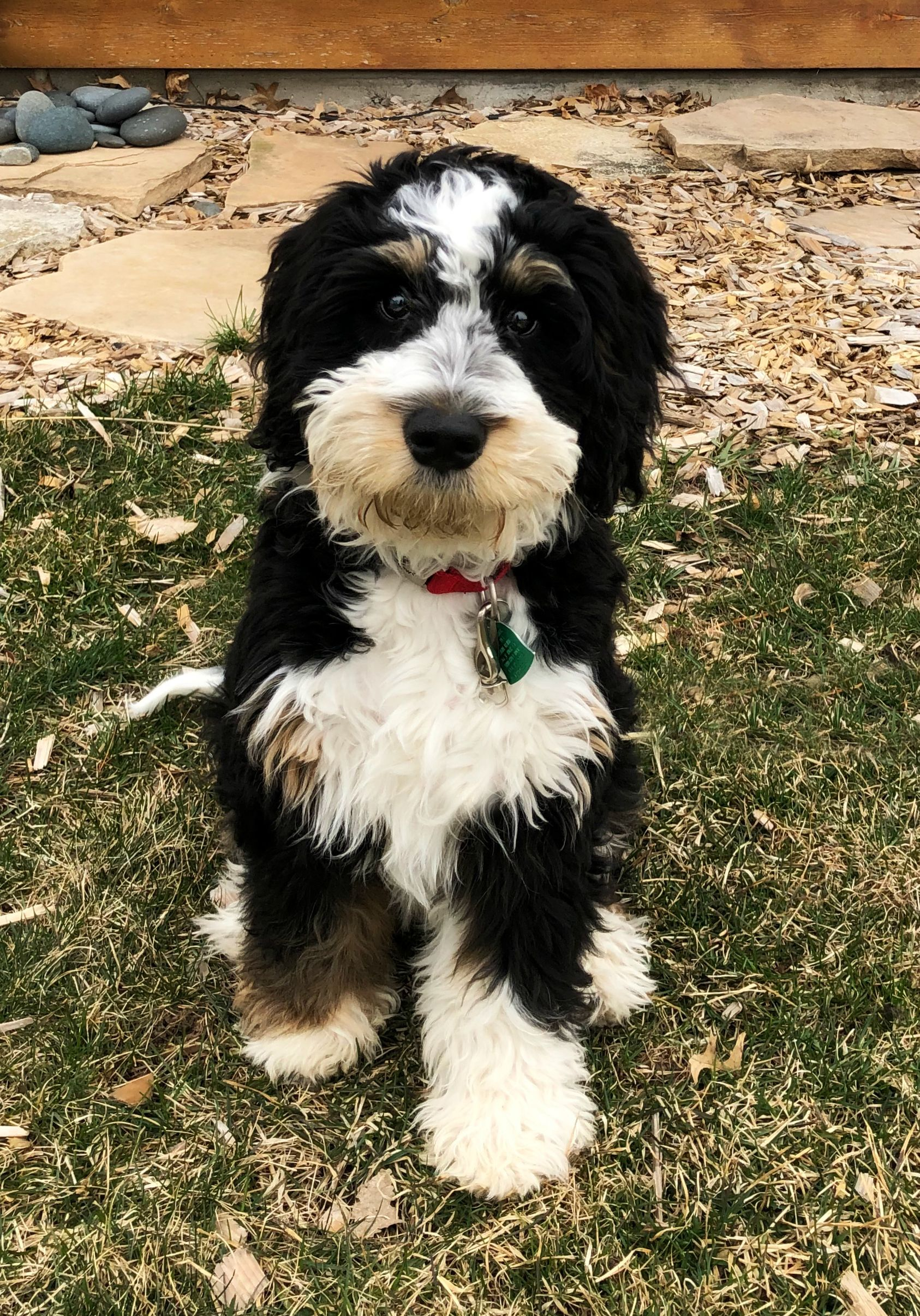 Sully 4 5 Month Mini Bernedoodle Bernedoodle Mini Bernedoodle Puppy Love