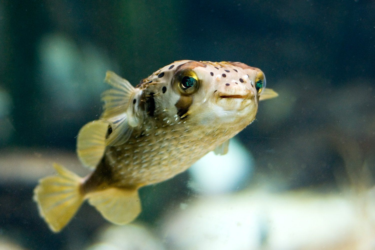 Concept design home cute puffer fish gif pictures cute for Puffer fish florida
