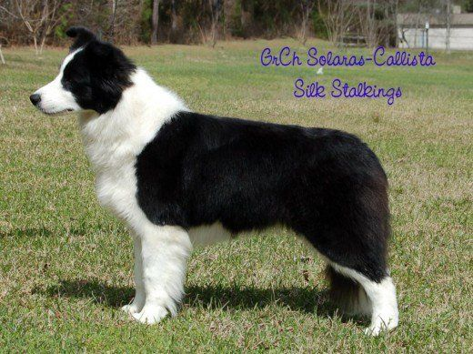 Selecting And Training A Border Collie Puppy Dog Stuff And