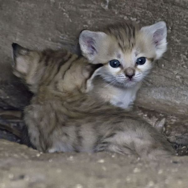 A Rare and Beautiful Litter of Israeli Sand Kittens Cats