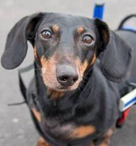 Dachshund Dog For Adoption In St Cloud Mn Adn 557883 On